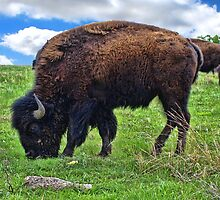 Buffalo Feeding by adastraimages