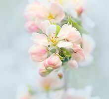 Spring Apple Blossom by Jacky Parker
