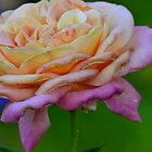 pink fading rose by kellimays