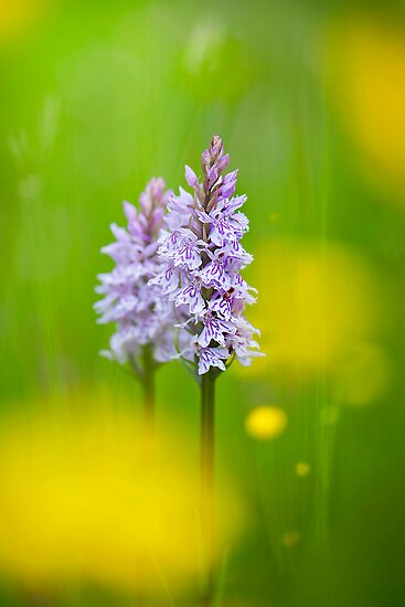Common Spotted Orchids  by Jacky Parker