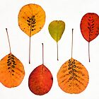 Cotinus Coggygyria / Smoke Bush leaf study #2 by Christopher Cullen