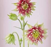 Aquilegia Nora Barlow by Jacky Parker