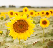 Sunflower field by Christopher Cullen