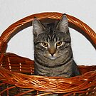 Cat in the Basket by karina5
