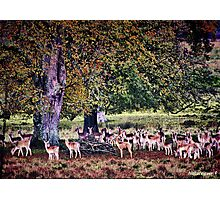 Kings Stag Park-Dorset Photographic Print