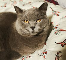 British Blue Kitten by NatashaRice23