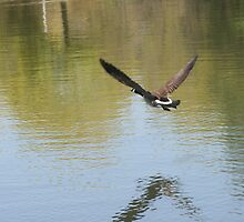 Canadian Goose in Flight by csilva