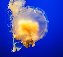 Egg Jellyfish at Monterey Bay Aquarium by FFRPhoto