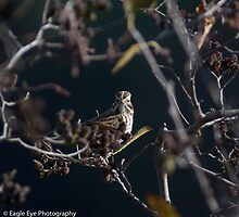 Savannah Sparrow - Merrimack River - Bow, NH 10-21-13 by David Lipsy