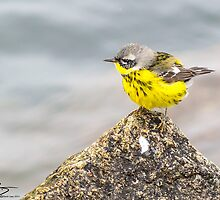 Adult Spring Female Magnolia Warbler - Star Island, 05-24-13 by David Lipsy