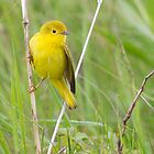 Spring Adult Female Northern Yellow Warbler - Star Island 05-24-13 by David Lipsy