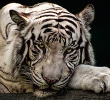 White tiger by Celeste Mookherjee