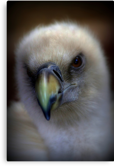 Portrait of a Griffon Vulture by larry flewers