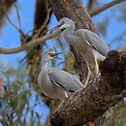 White Faced Herons by Kym Bradley
