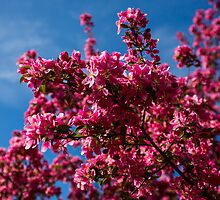 Spring Blossoms - Concord, NH 05-08-13 by David Lipsy