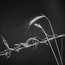 Barbed wire and wheat by Steve Mills