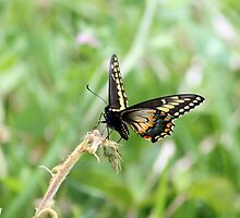 Black Orange and White Butterfly by rhamm
