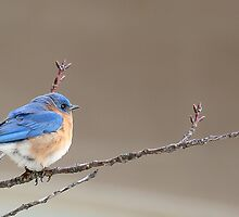 Male Bluebird - Bow HS - Bow, NH 03-04-13 by David Lipsy