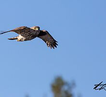 Sharp-shined Hawk - Bow Town Pond - Bow, NH 04-17-13 by David Lipsy