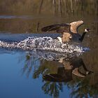 Canada Goose Barefoot Waterskiing - Bow Town Pond - Bow, NH 05-06-13 by David Lipsy