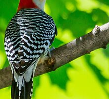 Red-bellied Woodpecker - Concord, NH 05-07-13 by David Lipsy