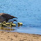 Canada Geese Family - Bow Town Pond - Bow, NH 05-15-13 by David Lipsy