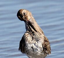 A Dunlin Strikes a Pose - Hampton Beach, NH 10-12-12 by David Lipsy