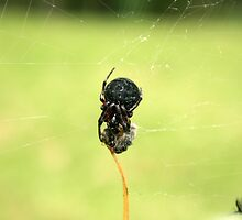 Orb Weaver Spider With Wrapped Prey by rhamm