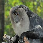 Lion-tailed macaque by Tom Newman