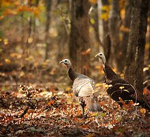 Wild Turkey by Jai Johnson