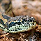 Python Closeup by Bami