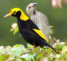 Regent Bowerbird - male and female. Australia by Bruce  Thomson