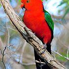 Male King Parrot. Cedar Creek, Queensland, Australia. by Ralph de Zilva