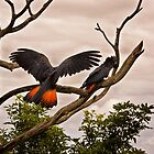 Red-tailed Black Cockatoo by Chris Brunton