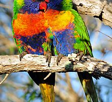 Rainbow Lorikeets. Cedar Creek, Queensland, Australia. by Ralph de Zilva
