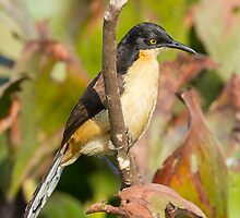 Black-capped Donacobius by Bruce  Thomson