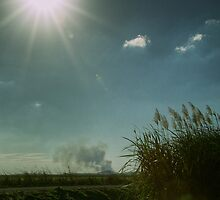 Sugar Cane Fields by njordphoto