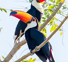 Toco Toucan, Brazil by Bruce  Thomson