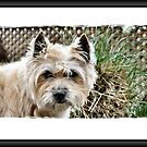 Happy Cairn Dog by Keala