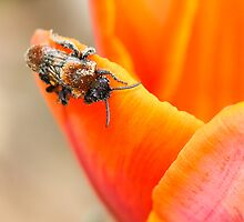 insect | bee on tulip flower by willowcanda
