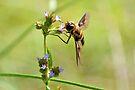 Bee Fly 3 by ©Dawne M. Dunton