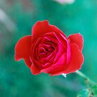 Red Rose by Ravi Chandra