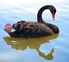 Black Swan by Renee Hubbard Fine Art Photography