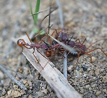 Pitched Battle ~ Bull-ants Skirmish over Territory  by Henry Inglis