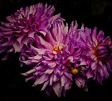 Giant Dahlias by PineSinger