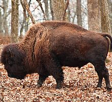 Bull Buffalo/Bison  by barnsis