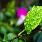 rain leaf by Douglas Hamilton