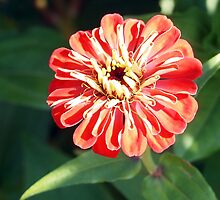 Zinnia Burst by Linda  Makiej