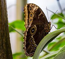 Butterfly on Perch by Douglas Hamilton