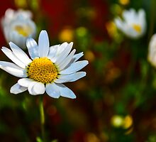 Morning Daisies by Douglas Hamilton
